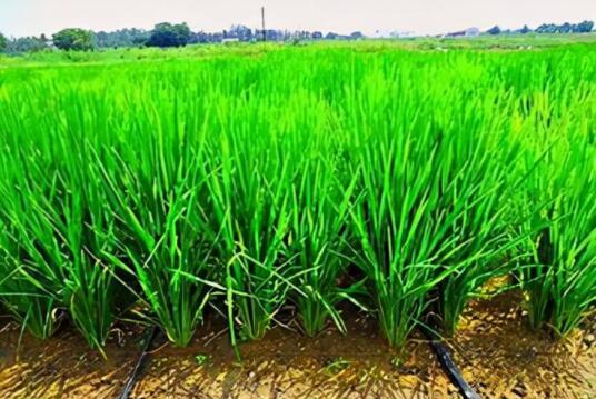 水稻产量提高1.5倍!滴灌栽培为啥这么牛,水肥一体化又是什么?