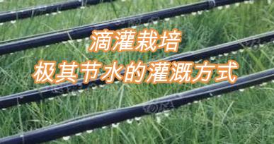 滴灌栽培,极其节水的灌溉方式