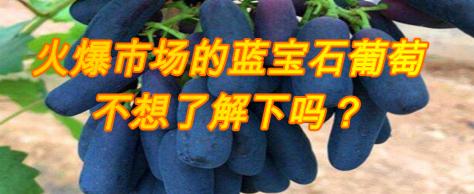 火爆市场的蓝宝石葡萄,不想了解下吗