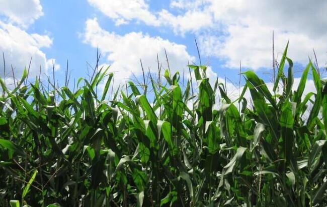 大豆和玉米的产量提高的新策略:机器学习+天气预测