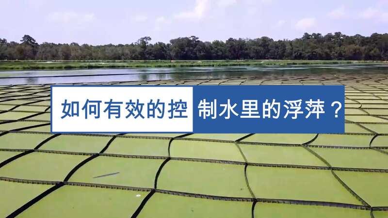 如何有效的控制水里的浮萍,养鱼就不错