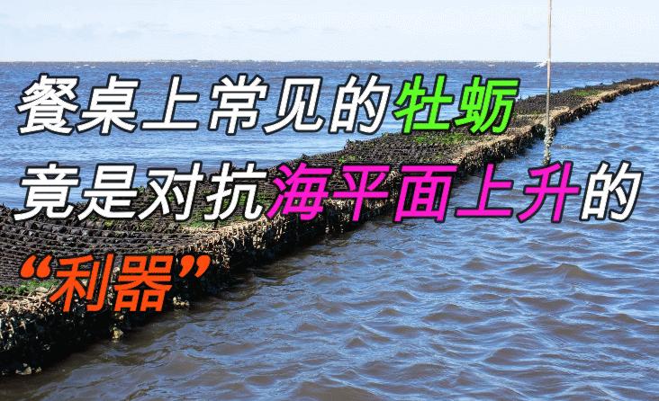 餐桌上美味的牡蛎,竟然是对抗海平面上升的利器?